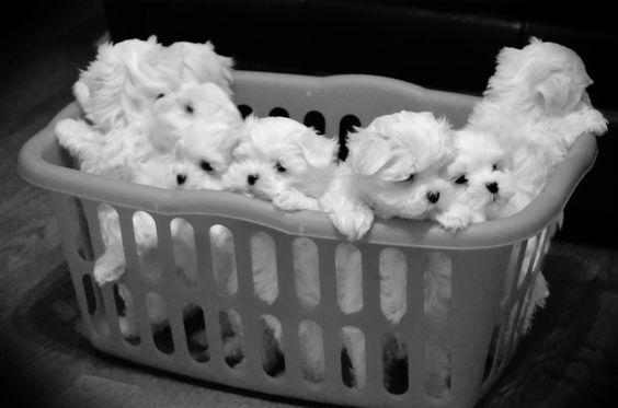 Basket of cuteness! 7 & 8 week old Maltese puppies: