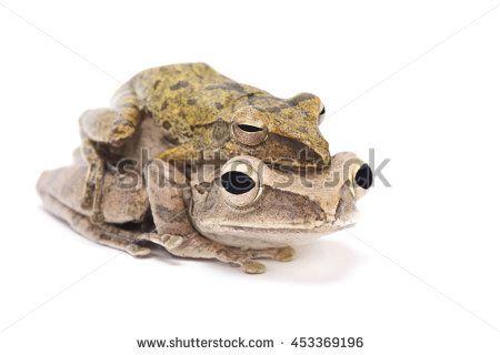 Golden gliding frog (Polypedates leucomystax )