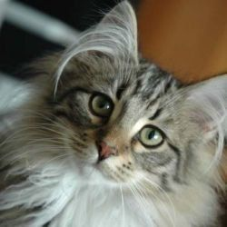 In Norway, these fluffy cats are known as skogkatter or Norsk skogkatt - literally, Norwegian Forest Cat.