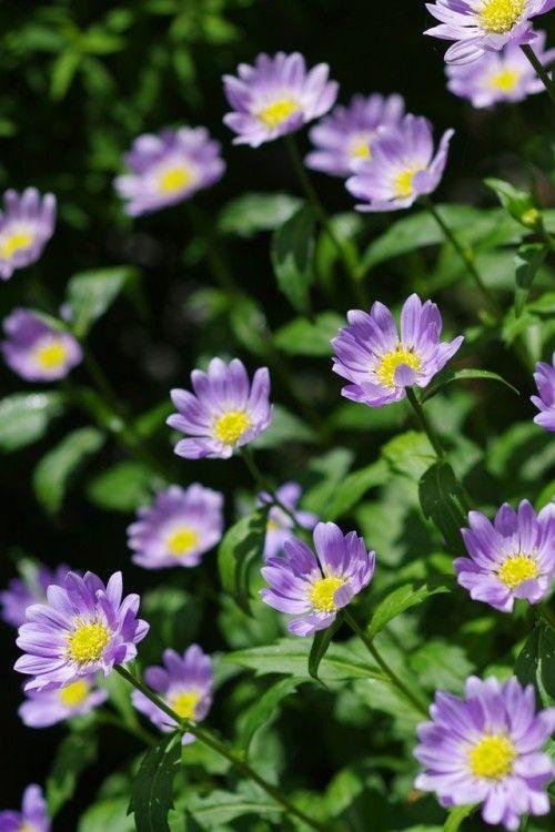 Aster Japanese Asteromea Mongolica Flowers Perennials Perennials Succulent Garden Diy Indoor