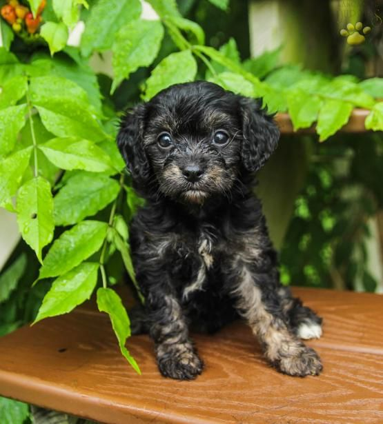 May Cavapoo Puppy For Sale In Mifflintown Pa Lancaster Puppies Cavapoo Puppies Cavapoo Puppies For Sale Lancaster Puppies