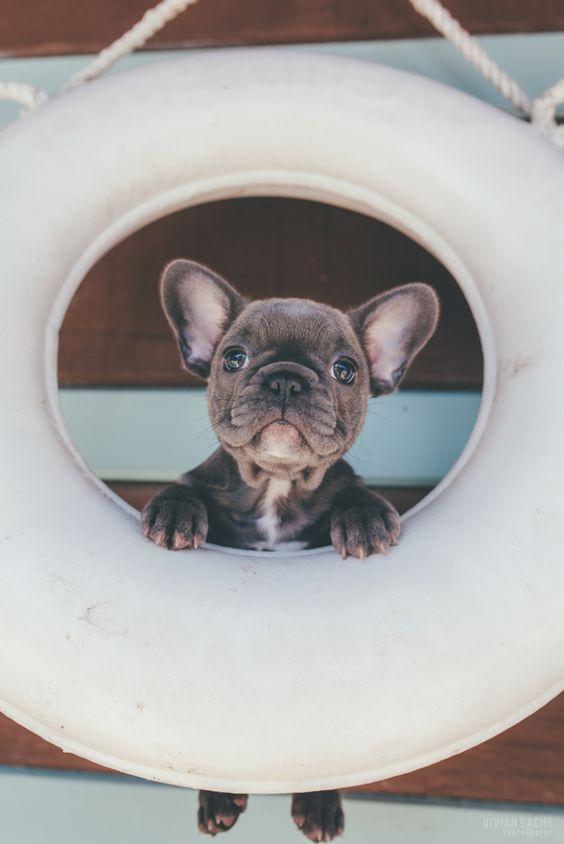 """Ahoy Matey"", French Bulldog Puppy, gracenjontra // pinterest"