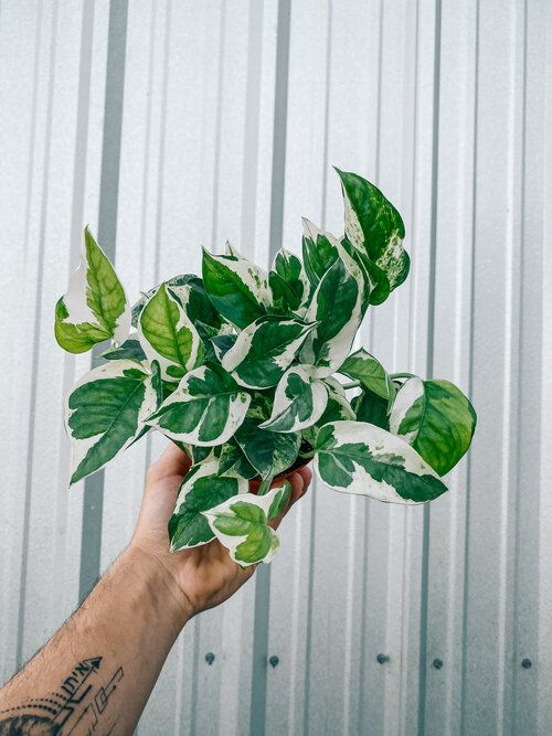 4 Pothos Pearls And Jade In 2020 Zebra Plant Plant Leaves Plants