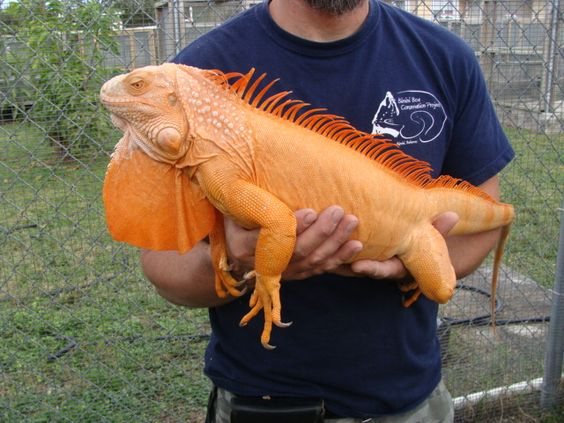 Blue Albino Iguana