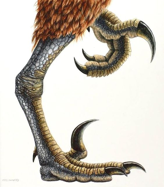 The sickle-clawed feet of Dromaeosaurus, western USA, and Alberta, Canada, ~75 MYA. Artwork by Esther van Hulsen.