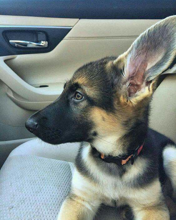 GSD Puppy. I am in LOVE with those EARS!!!  One of my favorite things in life-GSD puppy ears!