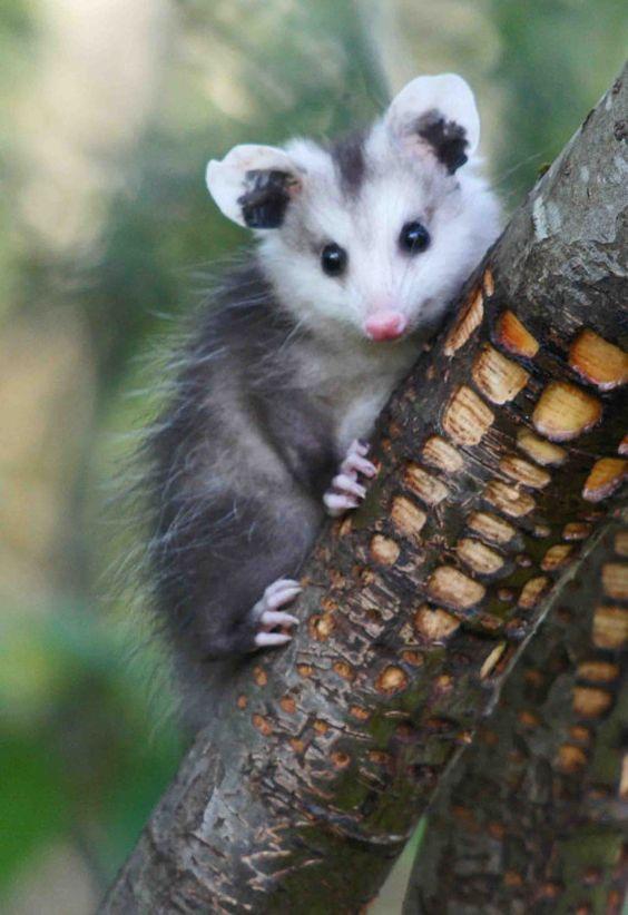 Baby Opossum   Emma   ...