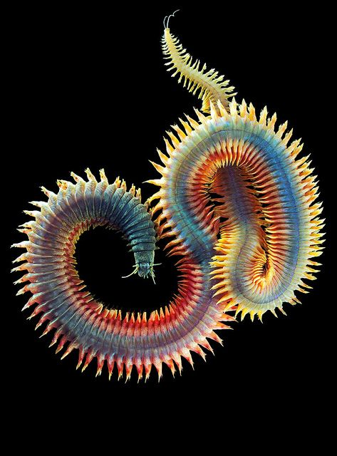 King Ragworm (Alitta virens) An annelid worm that burrows in wet sand and mud. It is classified as a polychaete in the family Nereididae... Sandworms eat seaweed and microorganisms. Can exceed four feet in length.