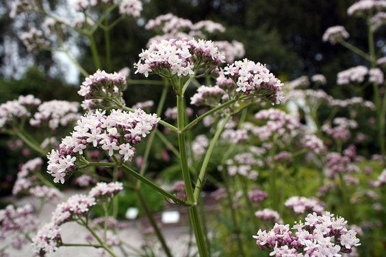 Valeriana officinalis, Lægebaldrian Lægebaldrian er en gammel klosterurt som har været anvendt og anvendes idag ved nervøsitet, angst, søvnbesvær. Den skal placeres solrigt eller i halvskygge. Planten bliver særdeles høj, og det kan være nødvendigt at binde den op. Blomsterne dufter helt fantastisk - en af de mest duftende planter.: