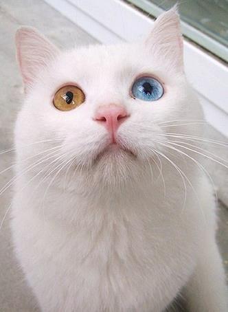 olhos bicolores