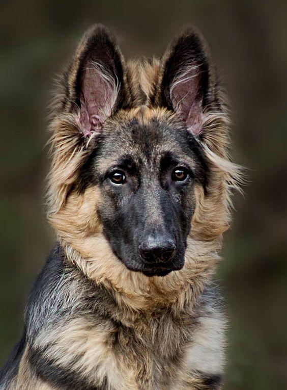 Beautiful German Shepherd Dogs Pet Photography Wall Art Home Decor
