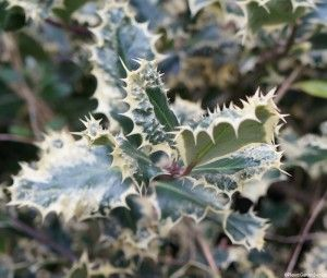 Holly: a useful Christmas evergreen in your garden -  http://plewsgardendesign.co.uk/holly-useful-christmas-evergreen-garden/  #PlewsGD
