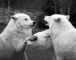 Image result for black and white wolves together