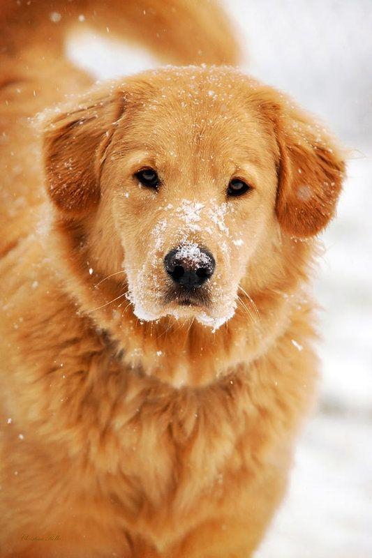 Snowy Golden Retriever Art Print By Christina Rollo In 2020 Dogs Golden Retriever Golden Retriever Art Golden Retriever
