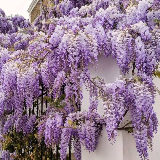 Wisteria Flowers Instagram Flower Aesthetic Lavender Aesthetic