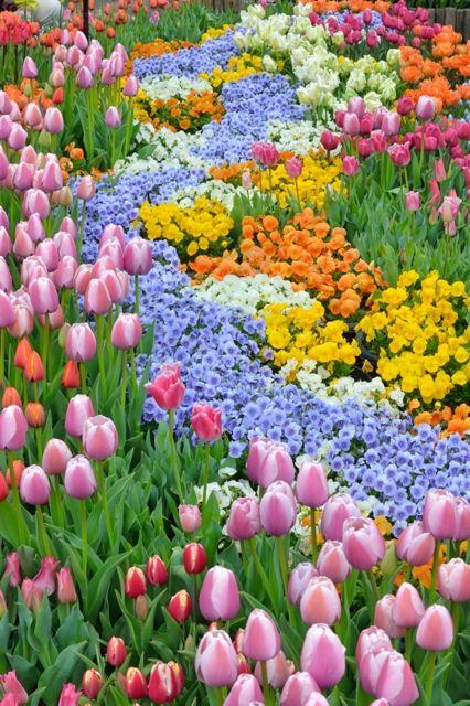 チューリップの綺麗で美しい花畑