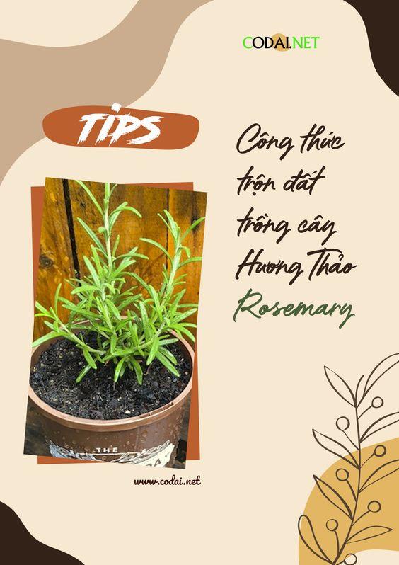 [Chia sẻ] Công thức trộn đất, giá thể trồng cây Hương Thảo (Rosemary)