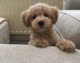 Bildergebnis Fur Bichon Frise Poodle Mix Dogs Bichon Bildergebnis Dogs Frise Fur Mix Poodle Pudel Welpen Bichon Frise Pudel