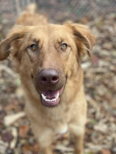 Adopt Kaycee On Dogs Golden Retriever Golden Retriever Labrador Animal Rescue League