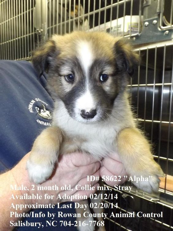 Rowan County Nc Animal Shelter Petfinder Adoptable Dog Collie Salisbury Nc Alpha Id 58622 Dog Adoption Animals Homeless Pets