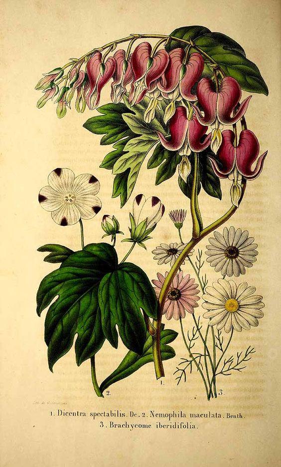 204717 Nemophila maculata Benth. ex Lindl. / La Belgique horticole, journal des jardins et des vergers, vol. 1: t. 11, fig. 2 (1851)