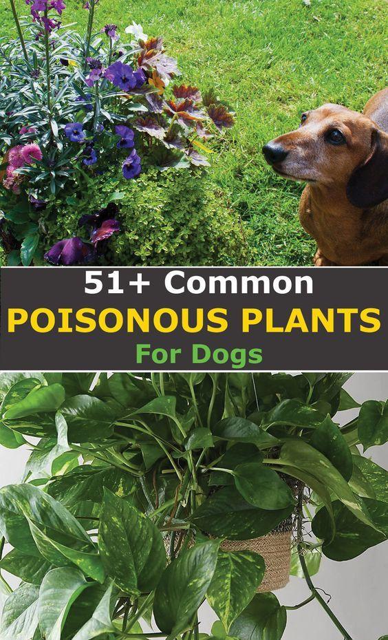 Common Plants Toxic For Dogs Poisonous Plants Plants Toxic To Dogs Plants