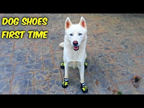 Huskies Trying Dog Shoes For The First Time Funny Dogs