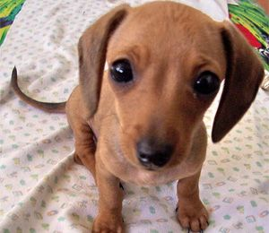 New puppy, Chihuahuas and Dachshund on Pinterest