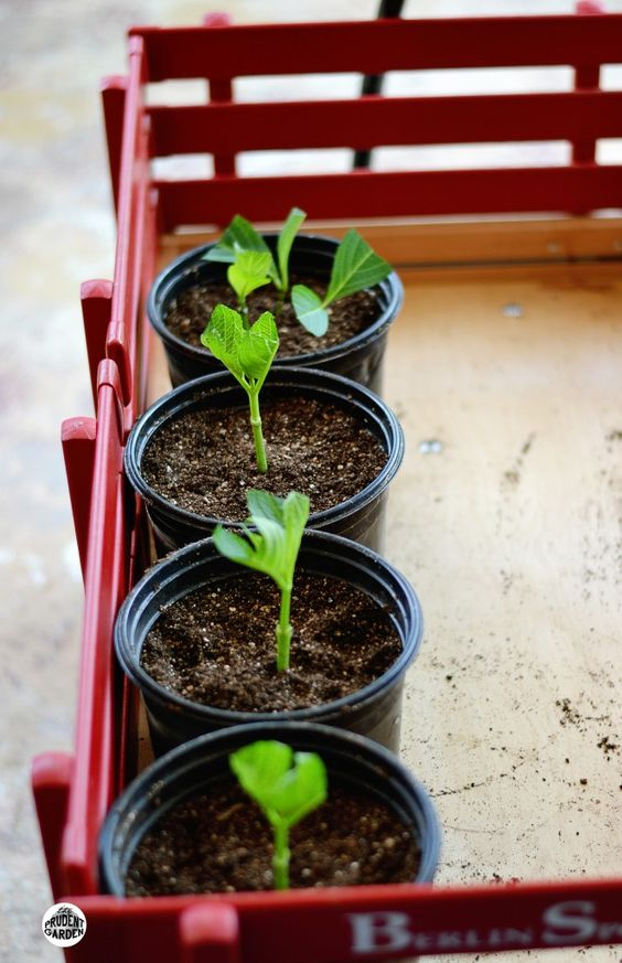 Looking for a way to grow your garden without a lot of money? Learn how to start hydrangeas from cuttings, Propagating your plants will save you money.