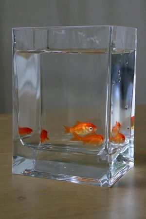 Goldfish Bowl Decoration Ideas Live Goldfish Swimming Under Floating Gerbera Daisies In Table