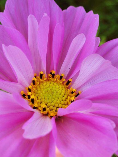 Roze bloem met een geel hartje