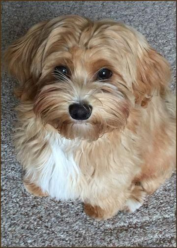 Image Result For Havanese Haircuts Havanesedogs Havanese Puppies Havanese Havanese Dogs