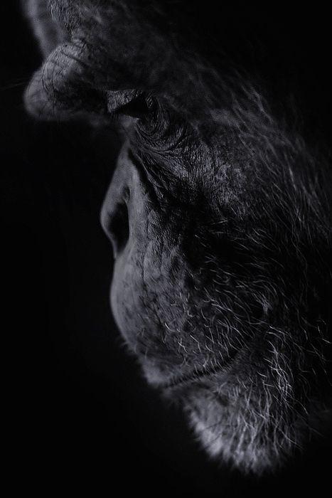 Les gorilles ont tellement l'air humain...: