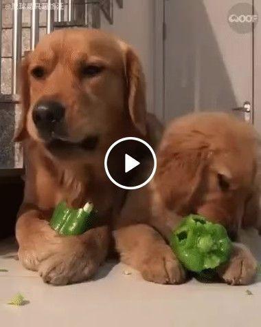 Cachorro também gosta de pimentão