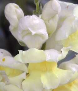 Winter Flowers - Snapdragons