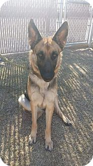 Mesa, AZ - German Shepherd Dog Mix. Meet River, a dog for adoption. http://www.adoptapet.com/pet/14480001-mesa-arizona-german-shepherd-dog-mix