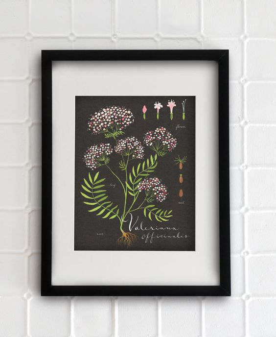 Valerian print 8.5x11  Botanical collection  flower by evajuliet