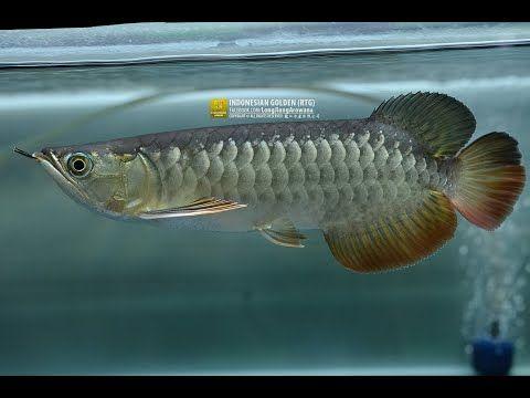 ปลาม งกร ทองอ นโด ป ดการขาย ต วสวย ทรงกว าง หางใหญ มากก ช พ 3375 Youtube
