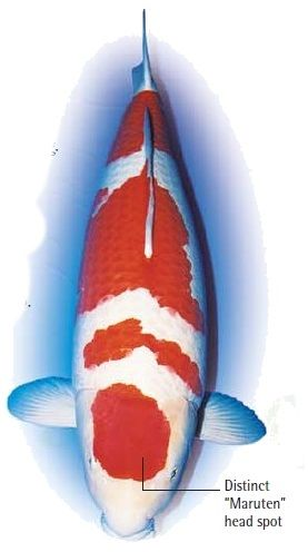 koi fish color meaning chart koi fish varieties Hiroshima Sakai This Kohaku, Koi Fish color meaning