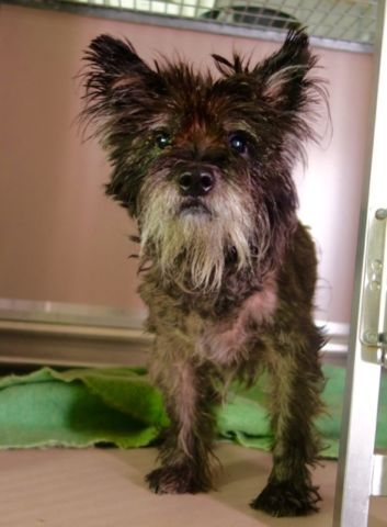 Manhattan center LINCOLN – A1087705 **SAFER : AVERAGE HOME** NEUTERED MALE, BLACK / GRAY, CAIRN TERRIER, 5 yrs STRAY – STRAY WAIT, HOLD FOR ID Reason STRAY Intake condition EXAM REQ Intake Date 08/29/2016, From NY 11213, DueOut Date 09/05/2016,