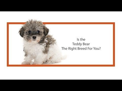 Petland Chicago Ridge Invites You To Check Out Our Video Gallery View Videos About Our Breeders Goldendoodle Puppy For Sale Mini Goldendoodle Puppies Puppies