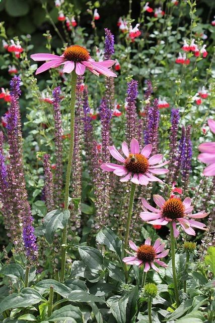 """Purple Coneflowers and """"lipstick plant"""" in background"""