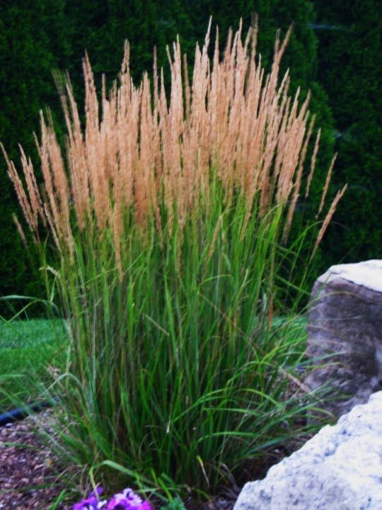 Eurasia feather reed grass grows to 3 ft tall front for Ornamental grass that looks like wheat