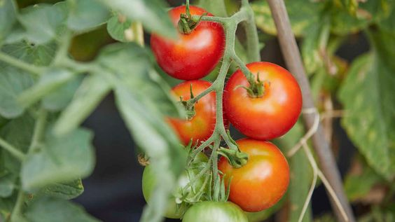 Watch The Biggest Mistakes To Avoid When Growing Tomatoes Growing Tomatoes Easy Plants To Grow Tomato Garden
