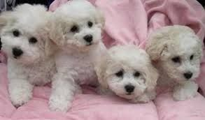 skin problems bichon frise - Google Search