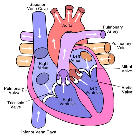 Human Heart Diagram, and the top ten fun facts about the heart!