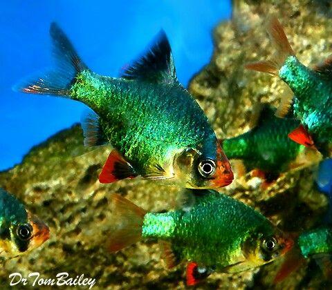 Green Tiger Barb Fresh Water Fish Tank Tropical Fish Tanks