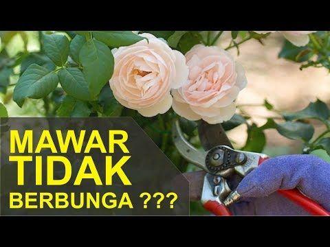 Cara Agar Mawar Rajin Berbunga Dan Bunganya Besar Youtube Mawar Taman Bunga Menanam Bunga