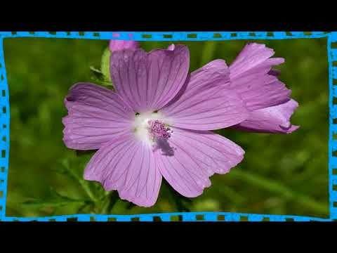 Para Que Sirve La Malva Rosa Como Planta Medicinal Te De Malva Para Infeccion Urinaria Youtube Plants Medicine