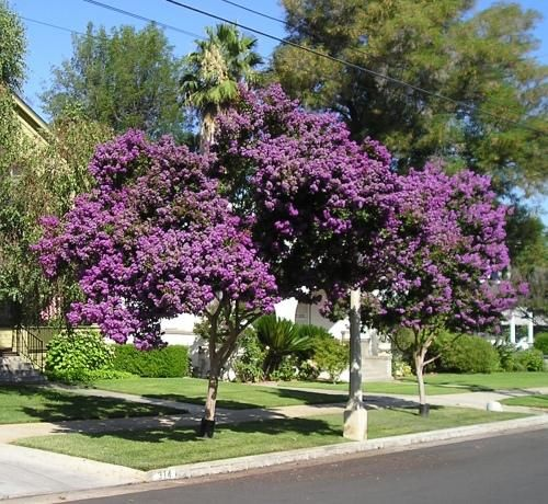 Pretty purple crape myrtle trees tuscan trees for Small pretty trees for front yard